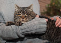 Gray striped cat on the hands of the owner Royalty Free Stock Photo