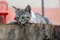 Gray striped cat lying on a log Royalty Free Stock Photo