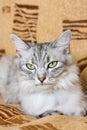 Gray striped cat lying on the sofa Royalty Free Stock Photo