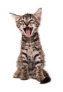 Gray striped kitten with shock grimace Stock Image