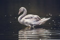 Gray Swan Swimming in the Water during Daytime