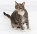 Gray tabby cat with orange eyes stands on gray background Royalty Free Stock Photography