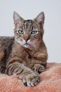 Gray Tabby Cat, Polydactyl Royalty Free Stock Images