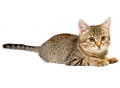 Gray tabby kitten. Royalty Free Stock Images