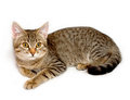Gray tabby kitten. Royalty Free Stock Photography