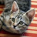 Gray Tabby Kitten on Chair Royalty Free Stock Image