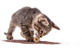 Gray tabby kitten playing with poppy capsule on white background Royalty Free Stock Photo