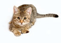 Gray tabby kitten on a white background Royalty Free Stock Photography