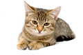Gray tabby kitten on a white background Stock Image