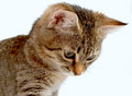 Gray tabby kitten on a white background Stock Images