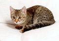 Gray tabby kitten on a white background Stock Photography