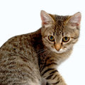 Gray tabby kitten on a white background Royalty Free Stock Photo