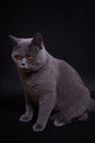 Gray thoroughbred British cat Stock Image
