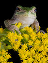 Gray Tree Frog On Goldenrod