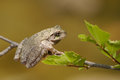 Gray tree frog hyla chrysoscelis sitting in a Royalty Free Stock Image