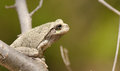 Gray tree frog hyla chrysoscelis sitting on a branch Royalty Free Stock Images