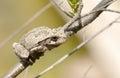 Gray tree frog hyla chrysoscelis sitting on a branch Stock Image