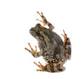 The gray tree frog hyla chrysoscelis versicolor disguises lichen Royalty Free Stock Photos