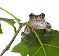 The gray tree frog hyla chrysoscelis versicolor on a green leaf Royalty Free Stock Images