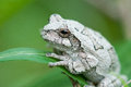Gray tree frog on leaf Stock Photo