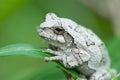 Gray tree frog on leaf Stock Photo
