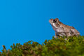 Gray Treefrog (Hyla versicolor) Stock Photography