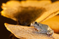 Gray Treefrog (Hyla versicolor) Royalty Free Stock Photography