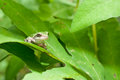 Gray treefrog metamorph a climbing on a sensitive fern Royalty Free Stock Photo
