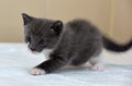 Gray and white little kitty three weeks Stock Photo