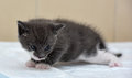 Gray and white little kitty three weeks Royalty Free Stock Photos