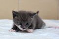 Gray and white little kitty three weeks Royalty Free Stock Image