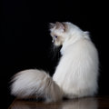 Gray white longhair cat with blue eyes Royalty Free Stock Photo
