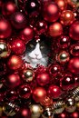 Maine Coon Cat looking through a hole in red christmas bauble decorations Royalty Free Stock Photo
