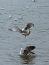 The gray wings of the gulls