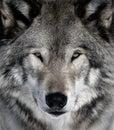 Šedá vlk