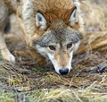 Gray wolf Photo stock