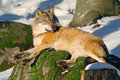 Gray wolf, Canis lupus, lying on stone, at white snow, nature habitat in the forest, Norway Royalty Free Stock Photo