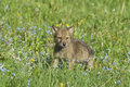 Gray wolf cub Royalty Free Stock Image