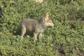 Gray wolf cub Royalty Free Stock Images