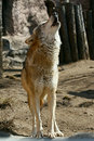 Gray wolf howling Stock Images