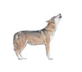 Gray wolf howling isolated Royalty Free Stock Photo