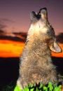 Gray Wolf Howling at Sunrise Royalty Free Stock Photo