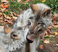Gray Wolf Looking Inside Another Wolf's Mouth Royalty Free Stock Photography