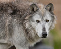 Gray wolf portrait closeup of a Stock Images