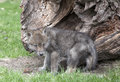 Gray wolf pup or timber next to fallen log in springtime Stock Images