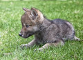 Gray wolf pup young timber or lies on the grass in springtime Royalty Free Stock Photos