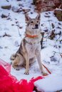 Gray wolf sits on white snow Royalty Free Stock Photo