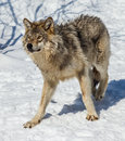 Gray Wolf in the Snow Royalty Free Stock Photo