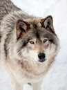 Gray wolf in the snow looking up at the camera close of a Royalty Free Stock Photography