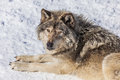 Gray Wolf in the Snow Looking up at the Camera Royalty Free Stock Photo